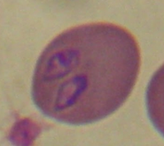 Babesia canis